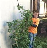 kid helps trim tree during addressing mesquite day