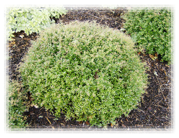 How To Plant Holly Bushes