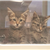 Mesquite Animal Shelter-Kittens