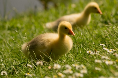 ducklings (400x266).jpg